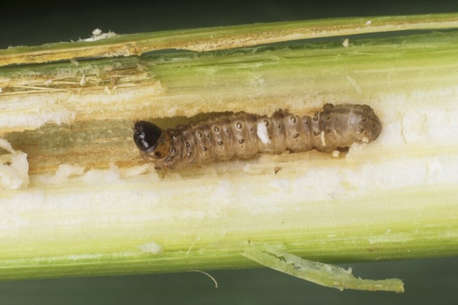 The destructive caterpillar of the European corn borer demonstrates what it's capable of. © Visuals Unlimited/Corbis