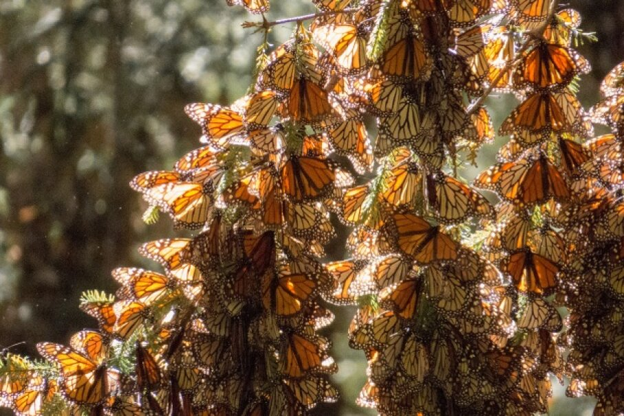 A mass of monarchs on their wintering grounds JHVE Photo/iStock/Thinkstock