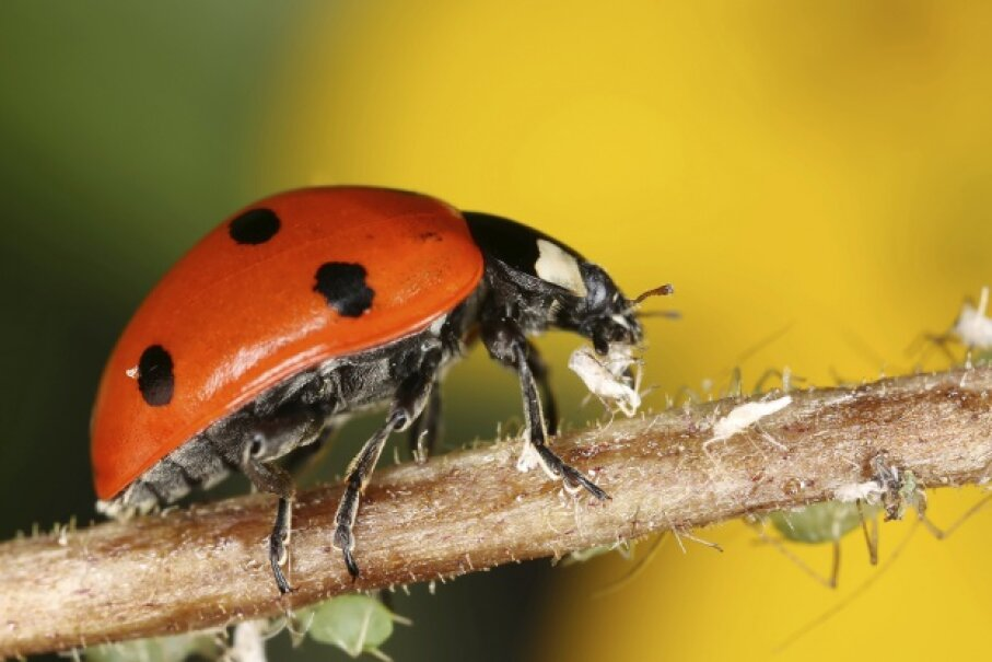 Eat those aphids, lady! Henrik_L/iStock/Thinkstock