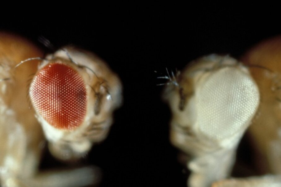 You could say that science owes a great debt to these tiny flies ubiquitous in science labs the world over. The pair pictured show off different phenotypes for eye color.  © Carolina Biological/Visuals Unlimited/Corbis