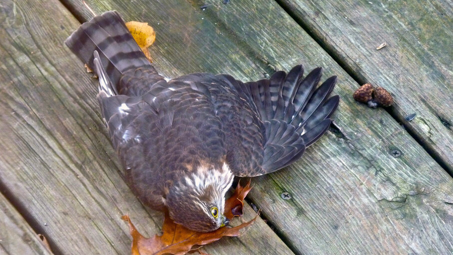 stunned cooper's hawk
