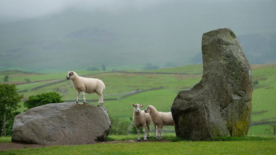 sheep at Castlerigg Stone, England