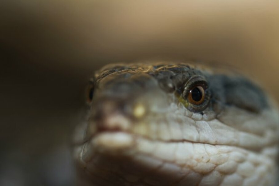 Not surprisingly, no long-tailed skink would agree to be photographed for this article, so here's a relation, the blue-tongued skink. NagyDodo/iStock/Thinkstock