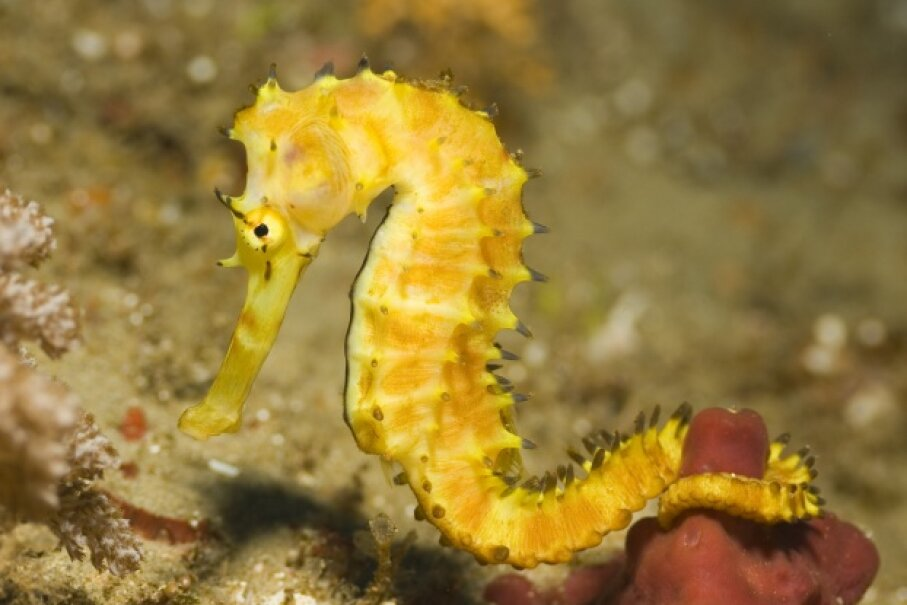 Seahorse dads take the business of fatherhood to a new level. Alexander Koen/iStock/Thinkstock