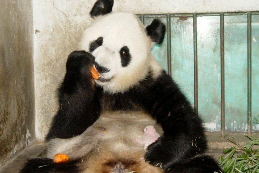 Giant panda Ying Ying eats a carrot as one of her 10-day twin cubs naps on her stomach at the China Giant Panda Protection and Research Center on July 13, 2005. The center took the other cub away from her, recognizing that pandas typically nurture only one. © China Newsphoto/Reuters/Corbis