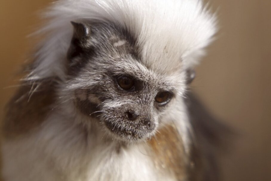 Are you my mother? It's kind of a moot point in cotton-top tamarin world. Martina Berg/iStock/Thinkstock