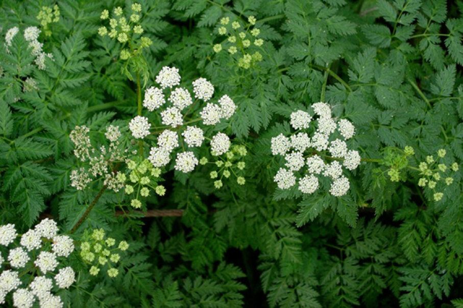 Hemlock can be mistaken for wild parsley. Paige Filler/Used Under Creative Commons CC BY 2.0 License