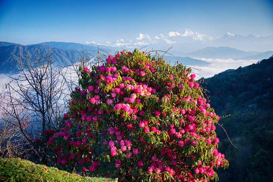 The most poisonous part of the rhododendron is the nectar. Emad Aljumah/Moment Open/Getty Images