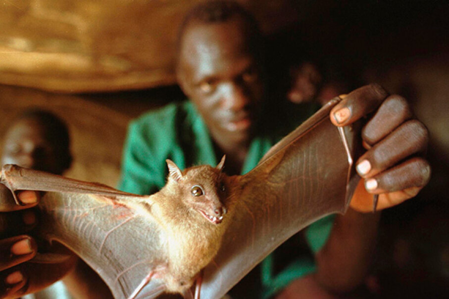A Ugandan man displays a bat he captured for food. Bats carry a lot of viruses. Tyler Hicks/Getty Images)
