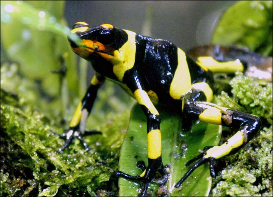 Lehmann's Poison Frog Carlos Julio Martinez/AFP/Getty Images