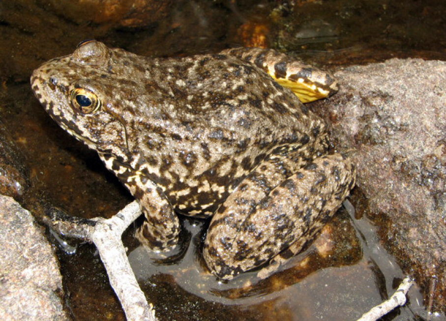 Southern Mountain Yellow-Legged Frog DCL