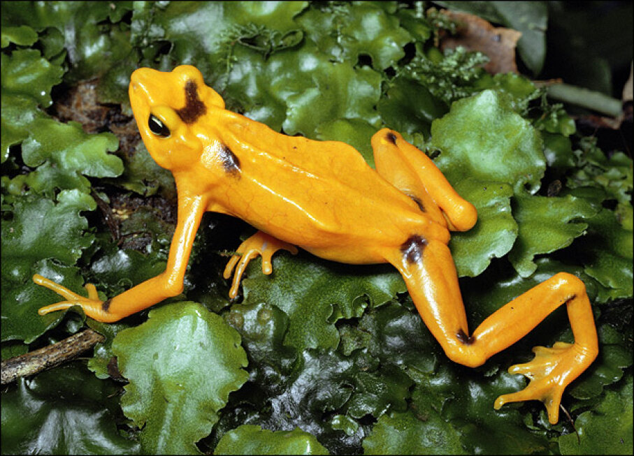 Panamanian Golden Frog Alex Kerstitch/Getty Images