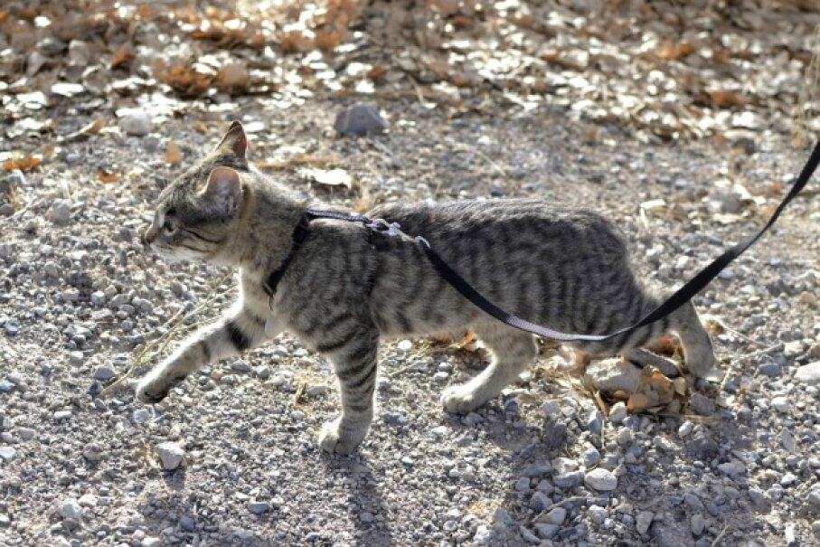 Some cats take to leash training quickly; some need more time to adjust. © MW47/iStock/Thinkstock
