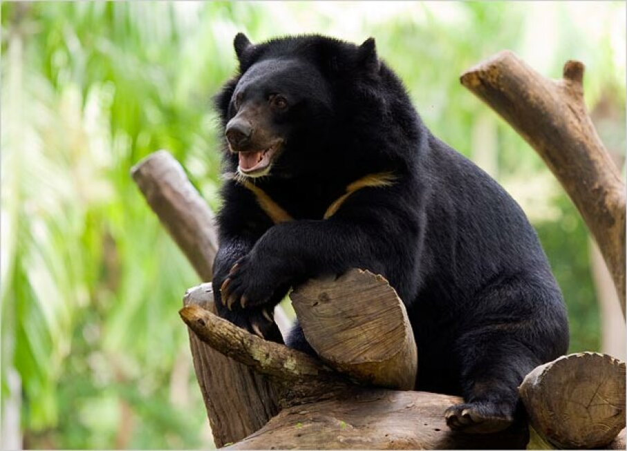 Asiatic Black Bear iStockphoto/Thinkstock