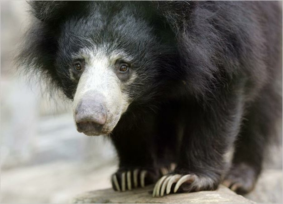 Sloth Bear MOLLY RILEY/Reuters/Corbis