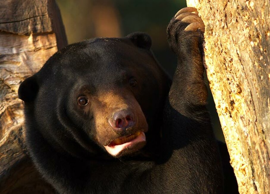 Sun Bear iStockphoto/Thinkstock
