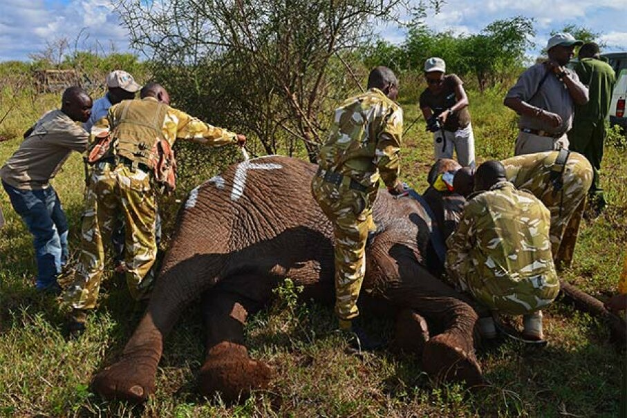 A ground crew takes data and fits a tracking collar to a wild elephant after it was darted by Kenya Wildlife Service. Drones protect elephants from armed poachers in remote parts of Kenya. CARL DE SOUZA/AFP/Getty Images