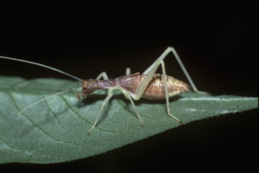 """A nymph """"thermometer cricket"""" © Bill Beatty, I/Visuals Unlimited/Corbis"""