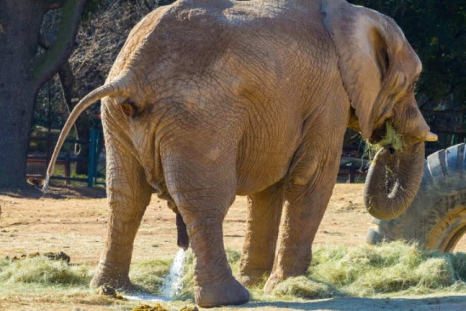 According to the new law of urination, it likely took the elephant only about 20 seconds to accomplish that great voiding of the bladder. derejeb/iStock/Thinkstock