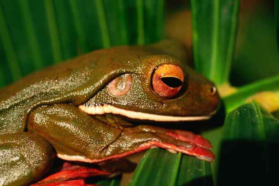 Researchers have identified more than 100 potential bacteria-killing substances from 6,000 frog species. Lawrie Williams/Lonely Planet Images/Getty Images