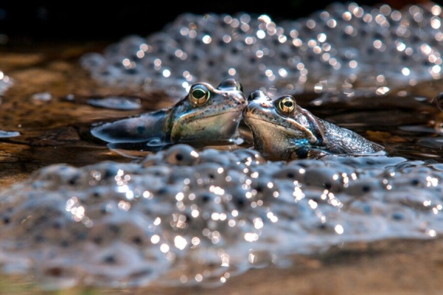 Two frogs share a tender moment of romance surrounded by eggs. wulna/iStock/Thinkstock