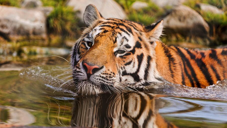 tiger, subspecies