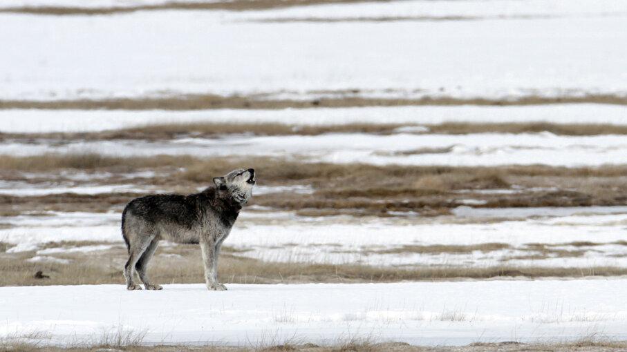 wolf at Yellowstone