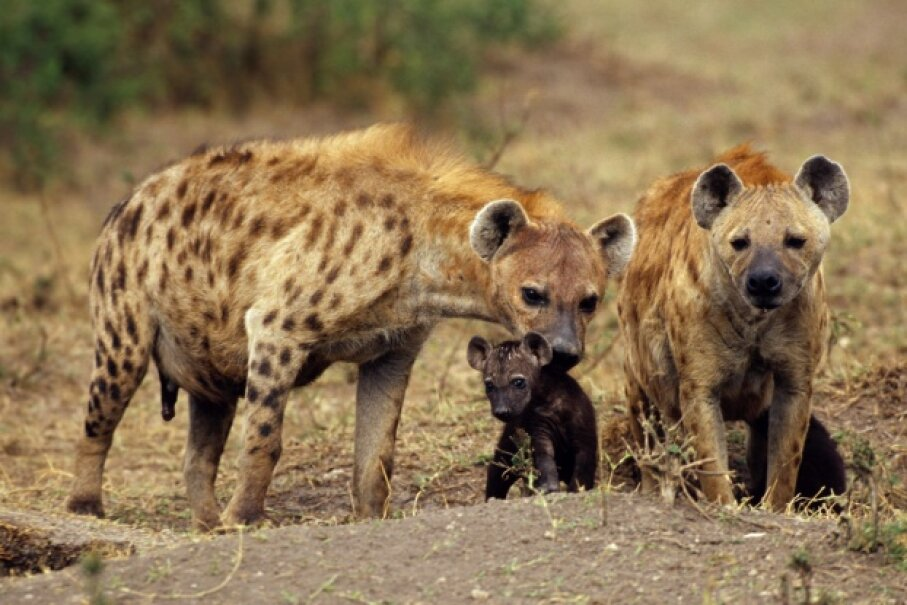 This mother hyena has already taken care of the tricky birthing process. Now all she has to do is protect her young. Ingram Publishing/Thinkstock