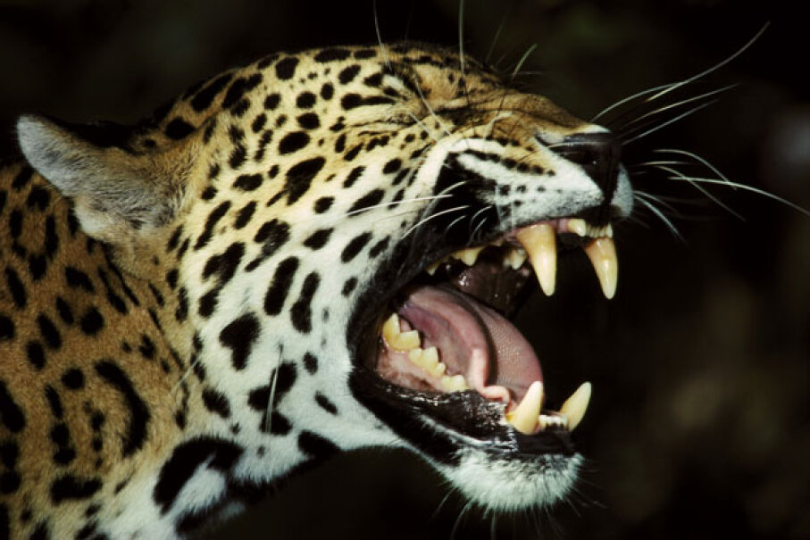 Those jaguar teeth look like they could be kind of painful. Oxford Scientific/Getty Images